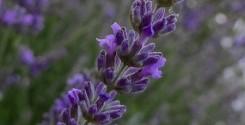 lavender feature